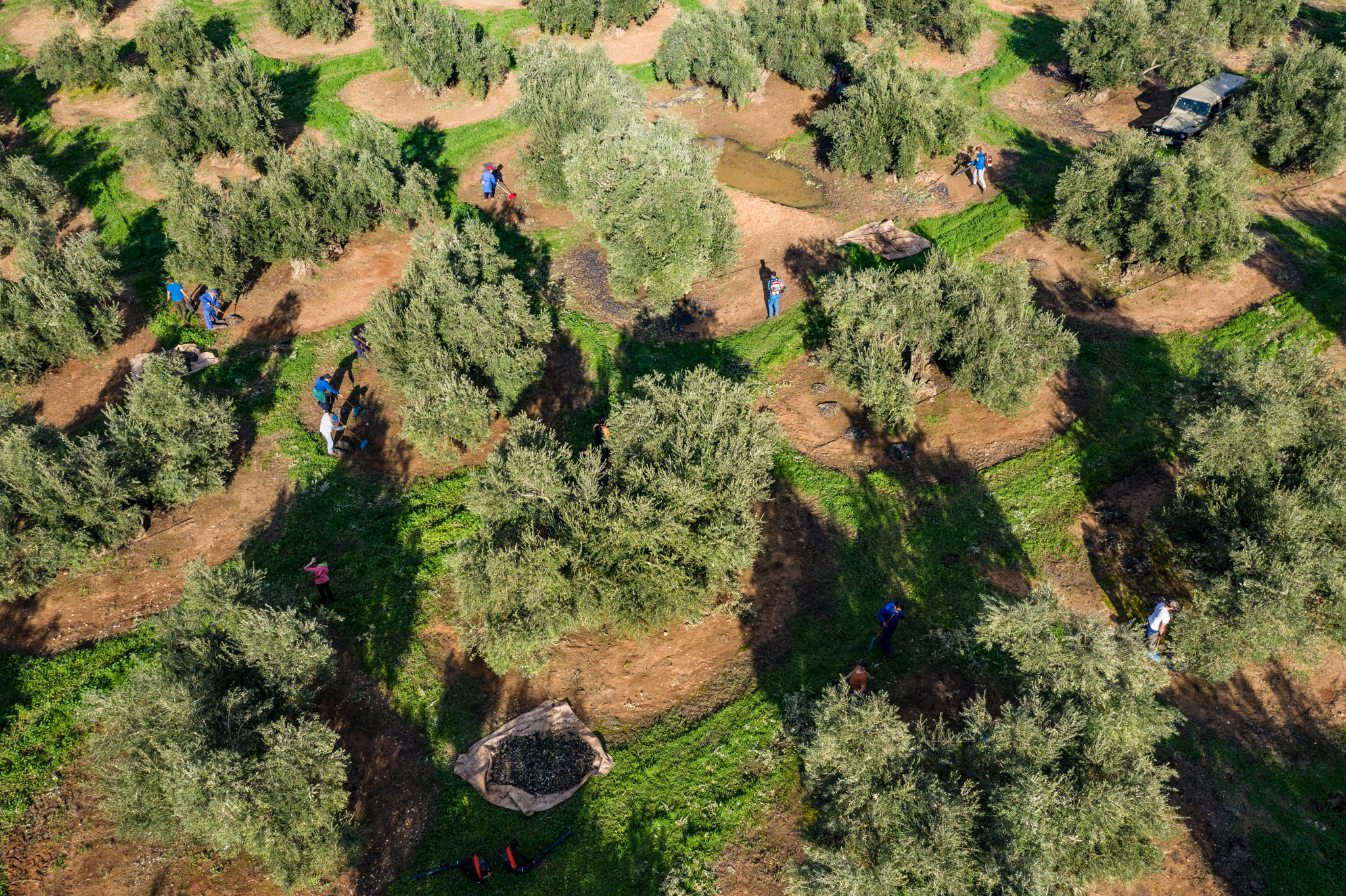 huile-olive_espagne_andalousie_recolte_moisson_paysage_production_champs_oliverais_arbres__manolo_mylonas